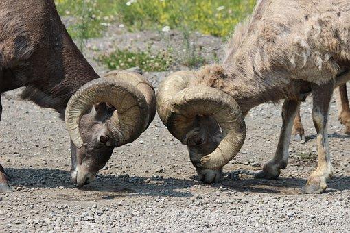 Big, Horn, Ram, Sheep, Animal, Wildlife, Wild, Horned