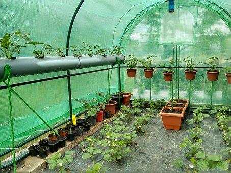 Greenhouse, Strawberries, Tomatoes
