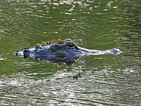 Alligator, Animal, Crocodile, Wildlife, Nature, Reptile
