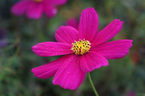 Cosmos, Flower, Pink, Summer, Plant