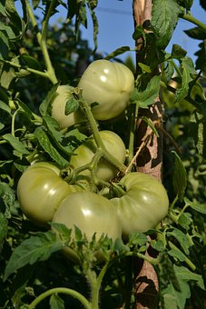 Green Tomatoes, Tomatoes, Vegetables, Tomatoe