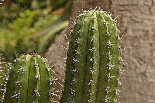 Cactus, Spikes, Sharp Spikes, Thorns, Needles