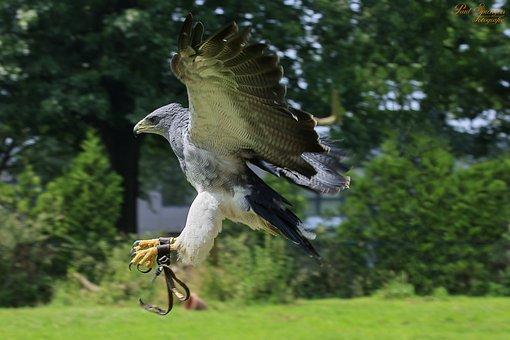 Bird Of Prey, Birds, Nature, Eagle, Chile Arend