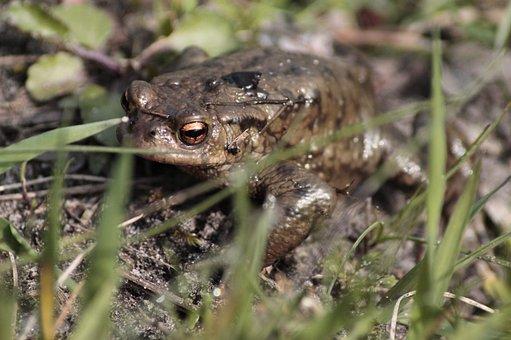 Toad, Animal, Amphibians, Nature, Stones, Close