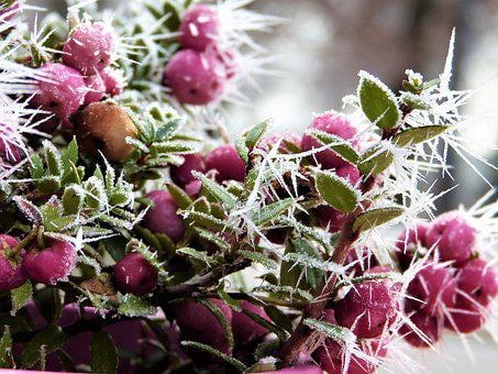 Snow Berry, Coral Berry, Pink, Fruits, Bush, Winter
