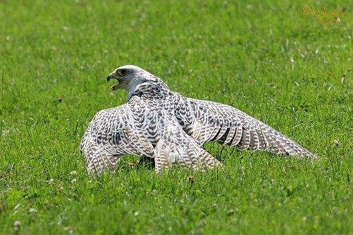 Bird Of Prey, Birds, Nature, Chile Arend, Eagle