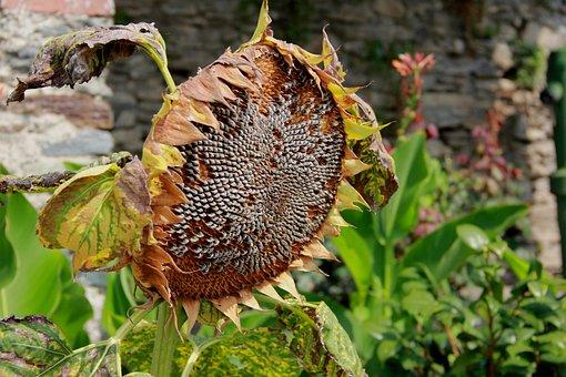 Sunflower, Flora, Nature, Faded