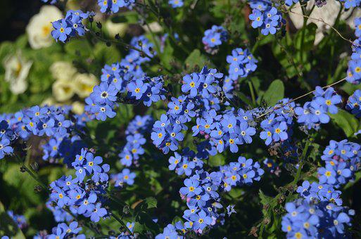 Do Not Forget Me, Flower, Blue, Spring, Nature