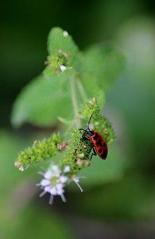 Insect, Gendarme, Bug, Garden