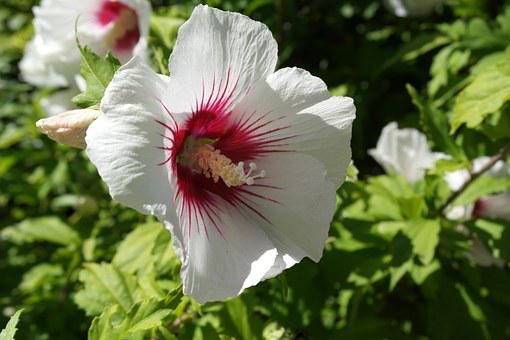 Hibiscus, Flower, Nature, Summer, Plant, Blossom, Green