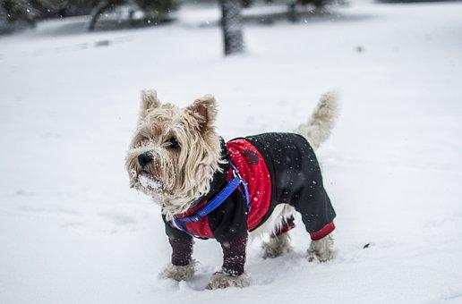 Dog, Park, Woods, Schnauzer, Fashion, Clothing, Cold