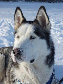 Husky, Sled Dog, Dog, Snow Dog, Blue Eye, White