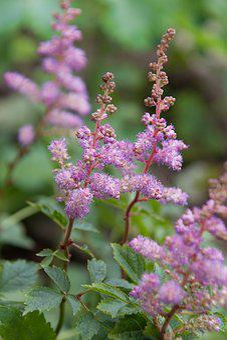 Meadowsweet, Pink Flower, Herbs, Delicate Flower, Pink
