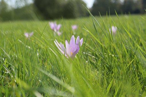 Meadow Saffron, Flower, Grass, Wind, Nature, Crocus
