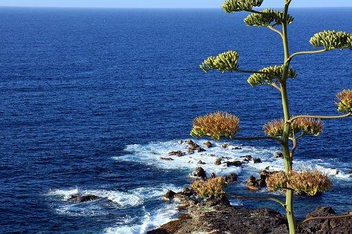 Agave, Agave Flower, Ocean, Atlantic, Tenerife