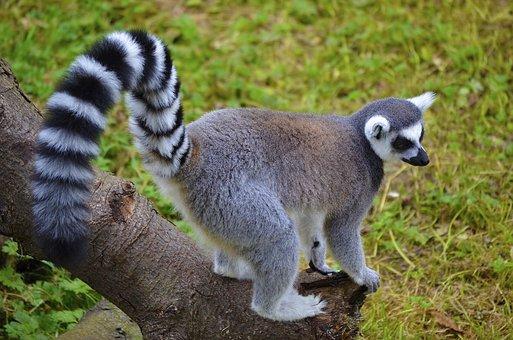 Lemur, Animal, Ring-tailed, Madagascar, Cute