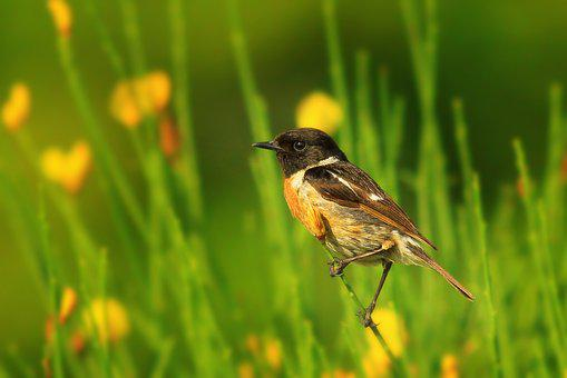 Black Redstart, Redstart, Scott, Bird, Nature, Green