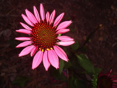Echinacea, Floral, Plant, Natural, Blossom, Bloom