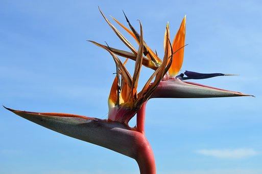 Bird Of Paradise, Flowers, Almuñecar, Tropical, Plants
