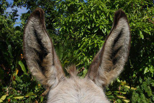 Donkey, Ears, Animal, Beast Of Burden, Mammal, Fur