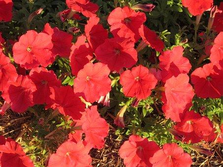 Petunia, Red Petunia, Floral, Plants, Natural, Blossom
