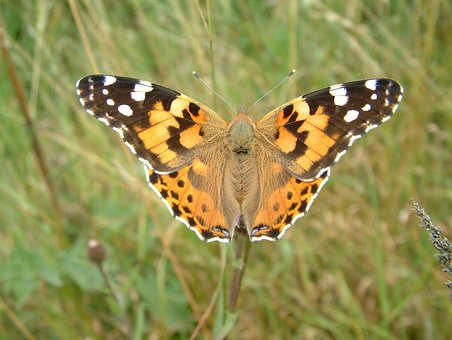 Painted Lady, Vanessa, Butterfly, Lady, Painted, Nature