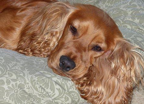 Cocker Spaniel, Brown, Dog, Pet, Canine, Animal