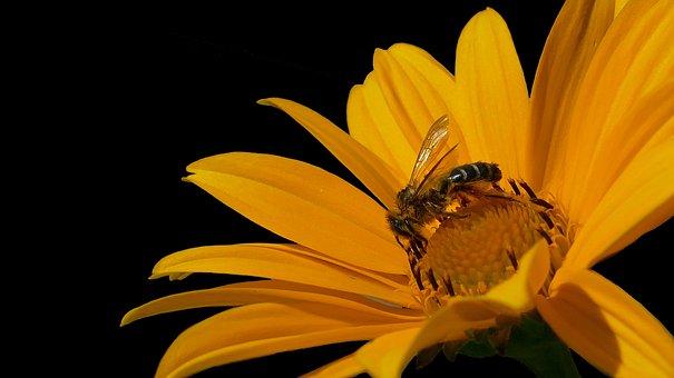 Bee, Honey Bee, Bee On Yellow Flower, Bee And Flower