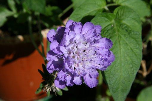 Pincushion Flower, Blue Flower, Blossom, Bloom