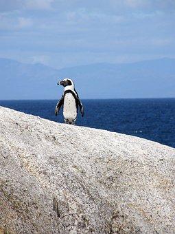 Penguin, Cape Town, Boulders Beach, Glasses Penguin