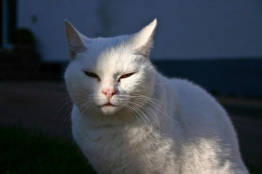 Cat, Animal, Pet, Mammal, Quadruped, White, Tired