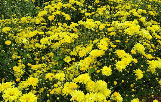 Chrysanthemum, Asteraceae, Sevanthi, Flower, Flora