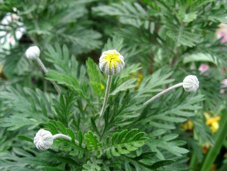 Bud, Yellow, Flowers, Chrysanthemum, Daisy