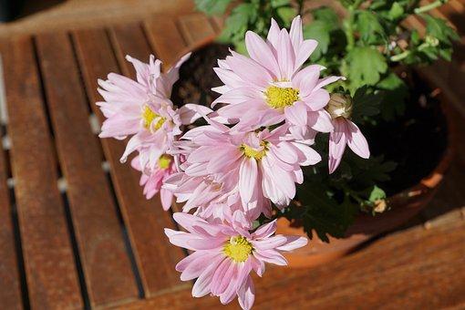 Chrysanthemum, Flower, Pink, Table, Wood, Nature, Green