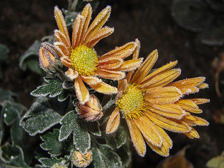 Flowers, Frost, Chrysanthemum, Yellow, Ice