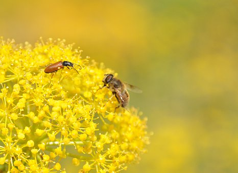 Wild Fennel, Insects, Bee, Flower, Close Up
