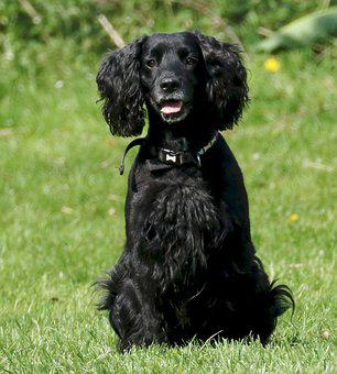 Cocker Spaniel, Dog, Cocker, Spaniel, Pet