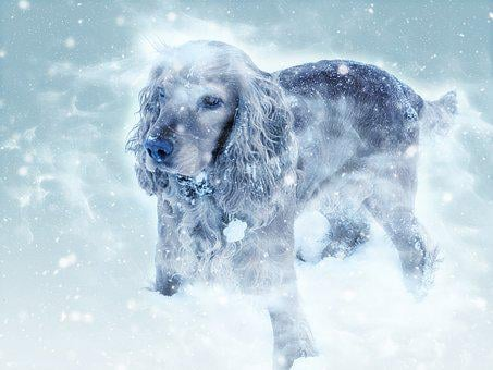 Dog, Cocker Spaniel, Winter, Snow Fall, Cold, Mammal