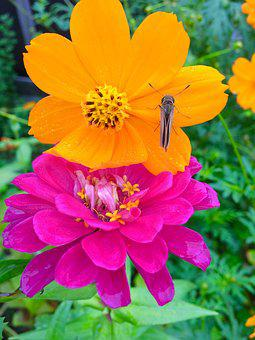 Garland Chrysanthemum, Dahlia, Flowers, Orange Color