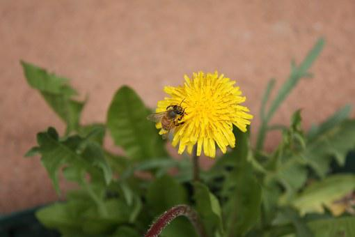 Bee, Flower, Dandelion, Pollination, Blooming, Single