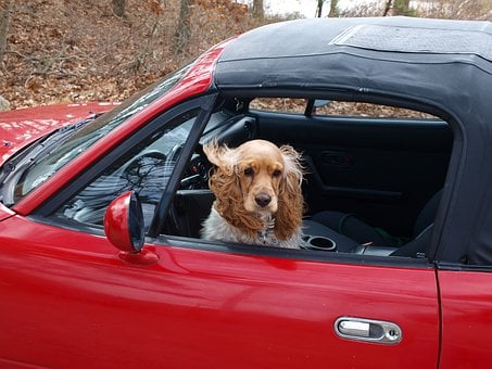 Cocker Spaniel, Dog, Car, Happy, Cool, Gun Dog, Driving