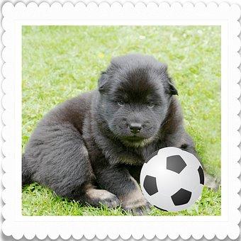 Dog, Puppy, Eurasians, Football Fan, Cute