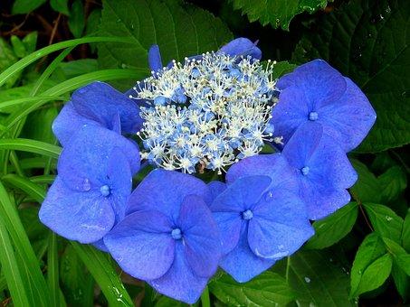 Hydrangea, Rain, Drop Of Water, Flowers, Blue