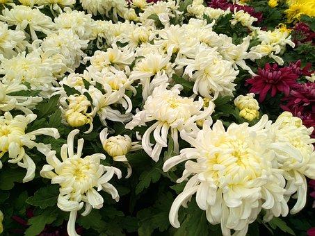 Chrysanthemum, Flower Show, National Day