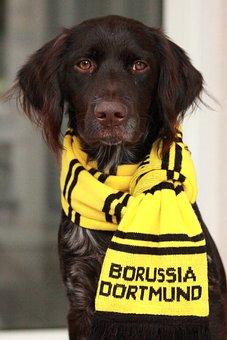 Small Münsterländer, Bvb, Borussia Dortmund, Football