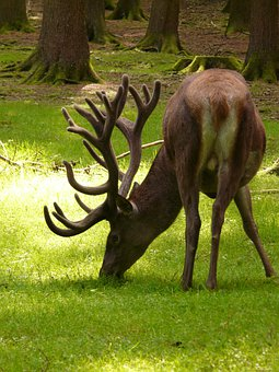 Hirsch, Red Deer, Animal, Antler, Graze, Forest, Food