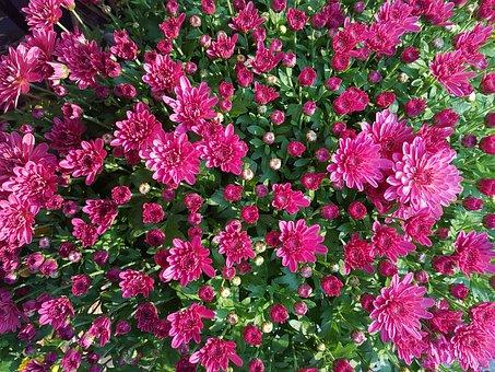 Chrysanthemum Flower, Autumn, Kogiku, Fall Flowers