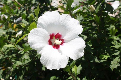 Rose Of Sharon, Korea, Back Single-core