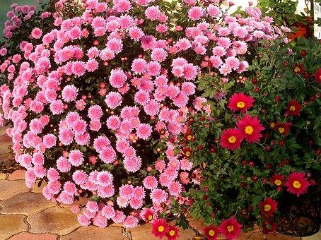 Nature, Chrysanthemum Flower, Pink, Summer Flowers