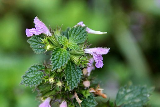 Nettle, Dead Nettle, Flowers, Green, Violet